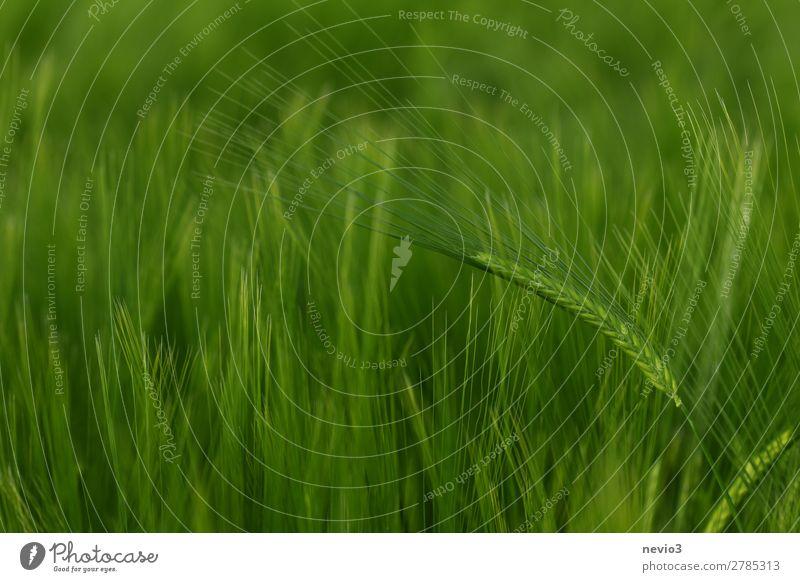 Gerstenfeld im Frühjahr Natur Schönes Wetter Gras Wiese Feld grün Frühlingsgefühle Leben Gerstenähre Getreidefeld Landwirtschaft grasgrün saftig Lebensmittel
