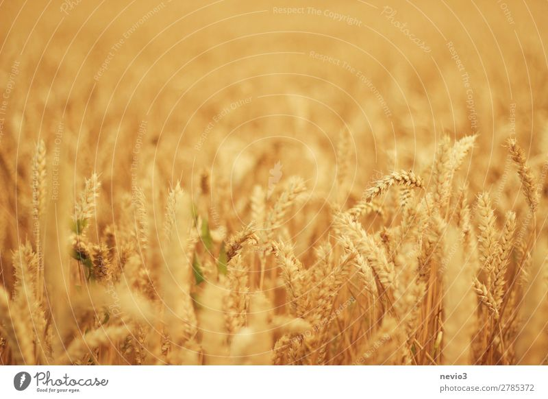 Weizenfeld im Hochsommer Landschaft Sonne Sonnenlicht Sommer Schönes Wetter Gras Wiese Feld gelb gold Weizenähre Weizenkörner Feldfrüchte Nutzpflanze
