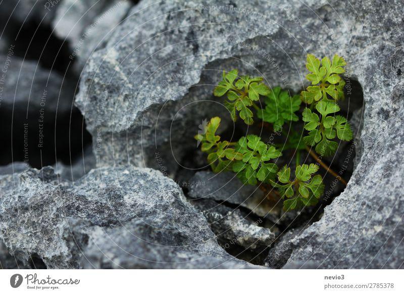 Kalksteinhöhle Umwelt Natur Landschaft Urelemente Pflanze Grünpflanze Nutzpflanze klein schön grau grün Frühlingsgefühle Sediment Höhle Wachstum Stein steinig