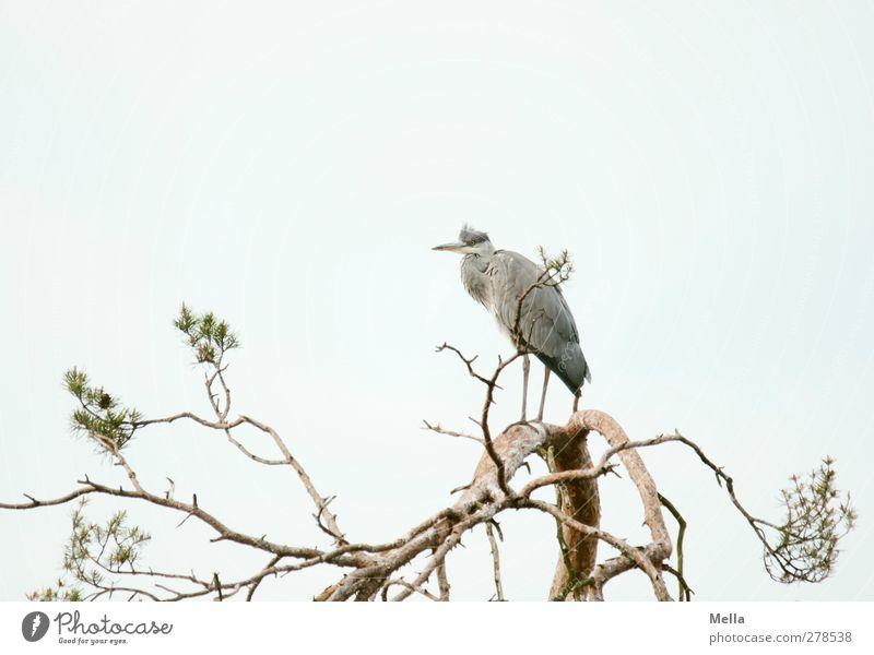 Nachhut Umwelt Natur Pflanze Tier Baum Baumkrone Geäst Wildtier Vogel Reiher Graureiher 1 Tierjunges Blick stehen frei hell natürlich oben Pause Aussicht
