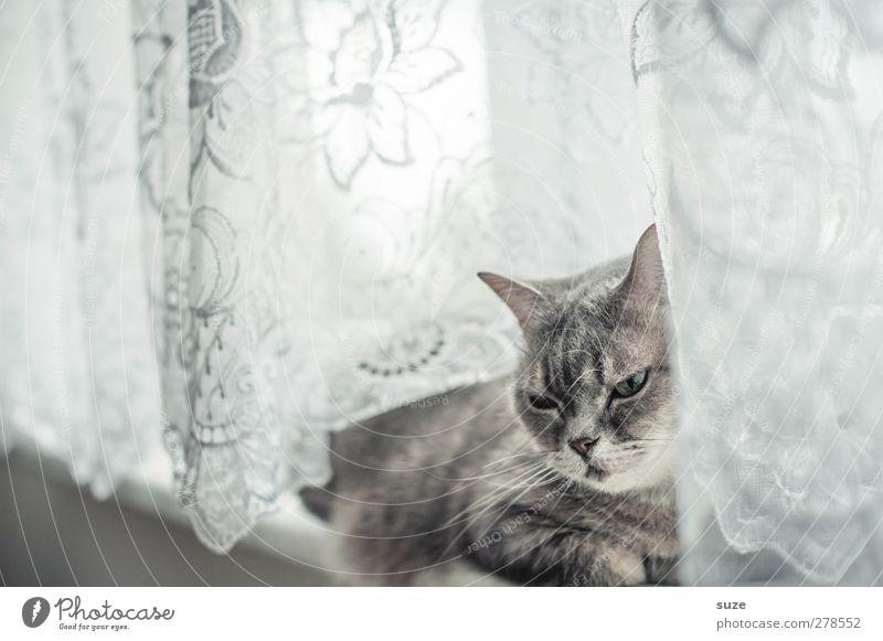 Sehr lange Weile Erholung Tier Fenster Fell Haustier Katze 1 authentisch hell niedlich weich grau Müdigkeit Hauskatze sanft Gardine Fensterbrett Langeweile