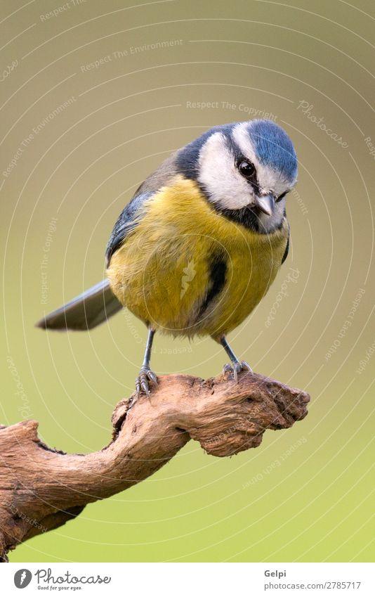 Hübsche Titte mit blauem Kopf schön Leben Winter Garten Natur Tier Wildtier Vogel klein wild gelb grün weiß Tierwelt Schnabel Singvogel Ast Feder Blaumeise