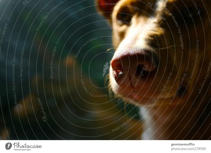 ich?! Haustier Hund Tiergesicht 1 niedlich Geborgenheit Warmherzigkeit Tierliebe ruhig träumen Farbfoto Innenaufnahme Textfreiraum links Tag Licht Schatten