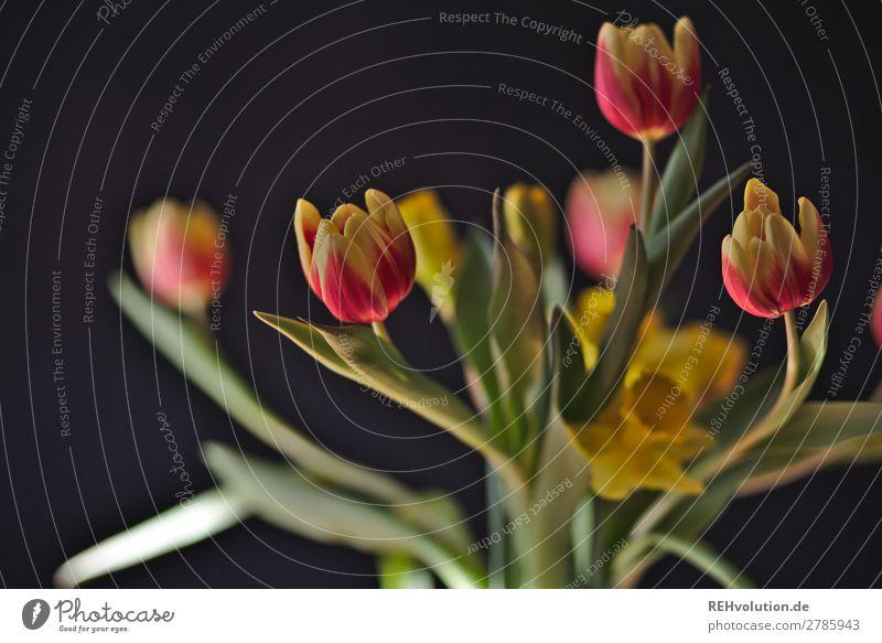 Tulpen Frühling Pflanze Blume Blühend natürlich schön schwarz Blüte Blumenstrauß Farbfoto Innenaufnahme Tag Sonnenlicht Unschärfe Schwache Tiefenschärfe