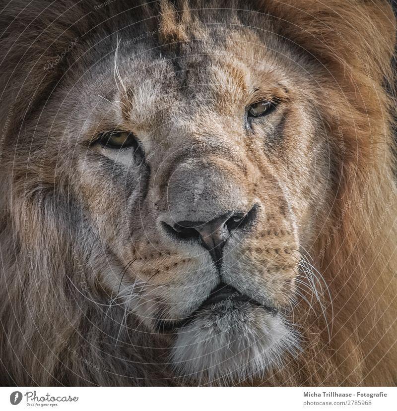 Löwe Porträt Natur Tier Sonnenlicht Wildtier Tiergesicht Fell Löwenmähne Auge Maul Nase Bart 1 beobachten glänzend Blick exotisch nah gelb orange schwarz weiß