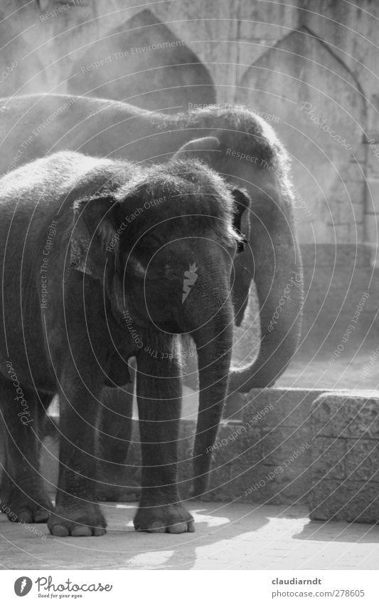 Graue Riesen Tier Wildtier Zoo Elefant Elefantenhaut 2 stehen exotisch Zusammensein groß trocken wild grau staubig Rüssel Koloss Indischer Elefant Gelassenheit