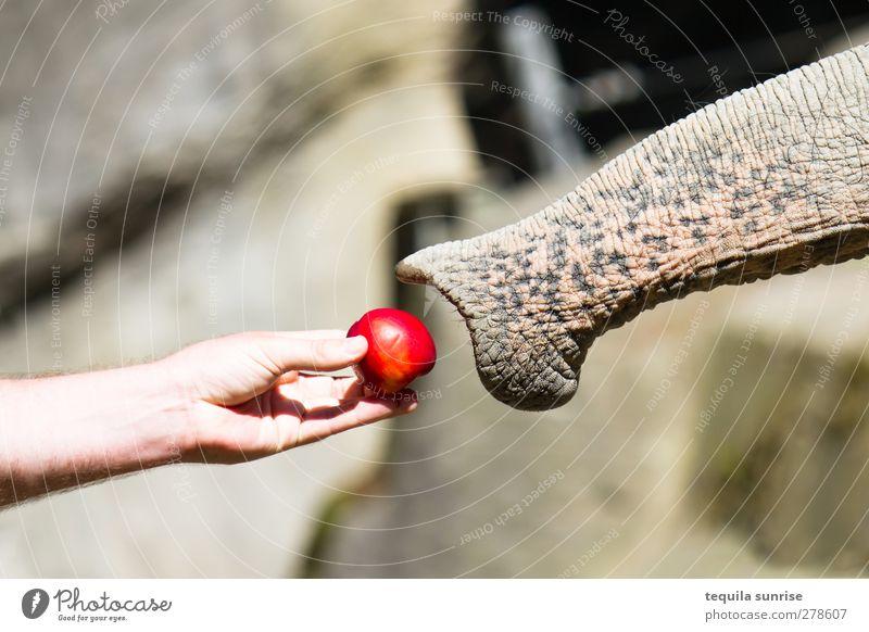 Begegnung Lebensmittel Apfel Essen Futter füttern Arme Hand Finger 1 Mensch Tier Wildtier Zoo Rüssel Elefant Nase Hilfsbereitschaft Farbfoto Außenaufnahme Tag
