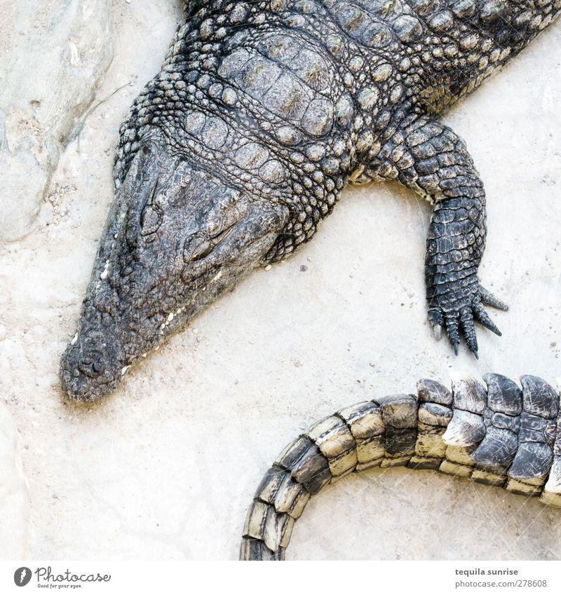 Krokodile Tier Kopf Beine Wildtier heiß Zoo Schwanz bequem Reptil Echsen Trägheit gefräßig Kaiman