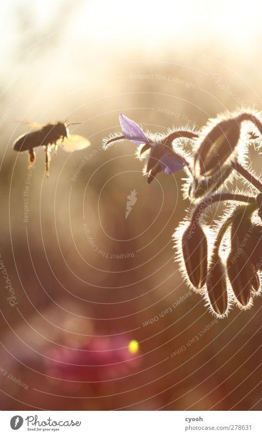 Anflug Sommer Schönes Wetter Wärme Blume Blüte Biene fliegen hell schön braun gelb gold Abenddämmerung erleuchten beobachten fleißig Wiese Wohlgefühl Erholung