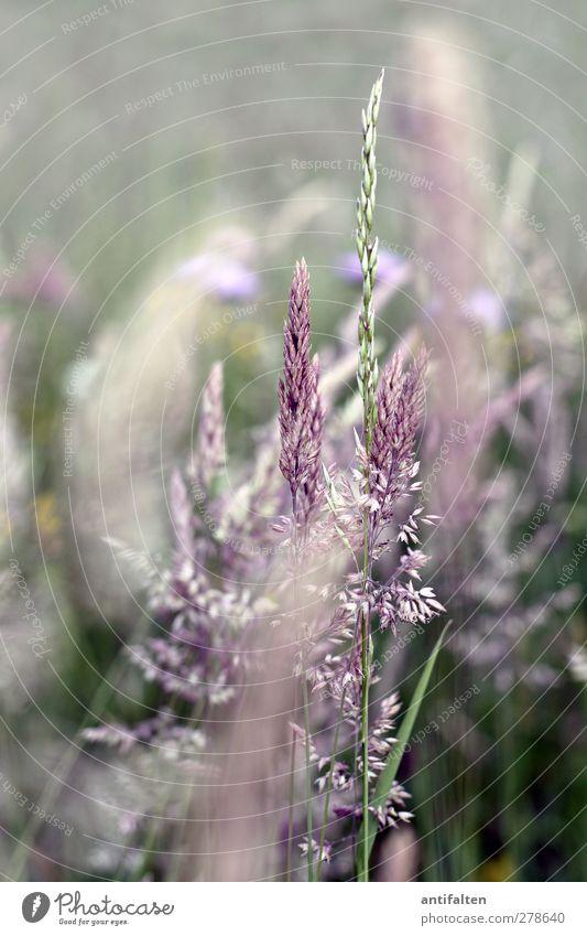 Sommerwiese Natur Pflanze Frühling Schönes Wetter Gras Sträucher Blatt Blüte Wildpflanze Park Feld Blühend Wachstum grün violett Wiese Wiesenblume Kornfeld