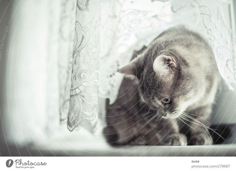 Nanu?! Tier Fenster Fell Haustier Katze 1 sitzen authentisch hell kuschlig Neugier niedlich weich grau Hauskatze sanft Gardine Fensterbrett tierisch Katzenkopf
