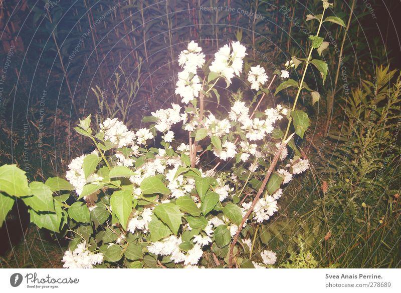 nachts. Umwelt Pflanze Schönes Wetter Blume Sträucher Grünpflanze Wildrosen Park Wiese trashig Nacht geblitzt Blüte Farbfoto Gedeckte Farben Außenaufnahme