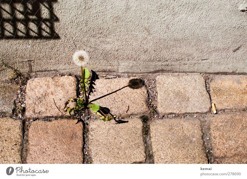 Bodenständige Sonnenuhr Umwelt Natur Pflanze Sommer Schönes Wetter Blüte Grünpflanze Wildpflanze Löwenzahn Stadt Stadtzentrum Mauer Wand Blühend Wachstum