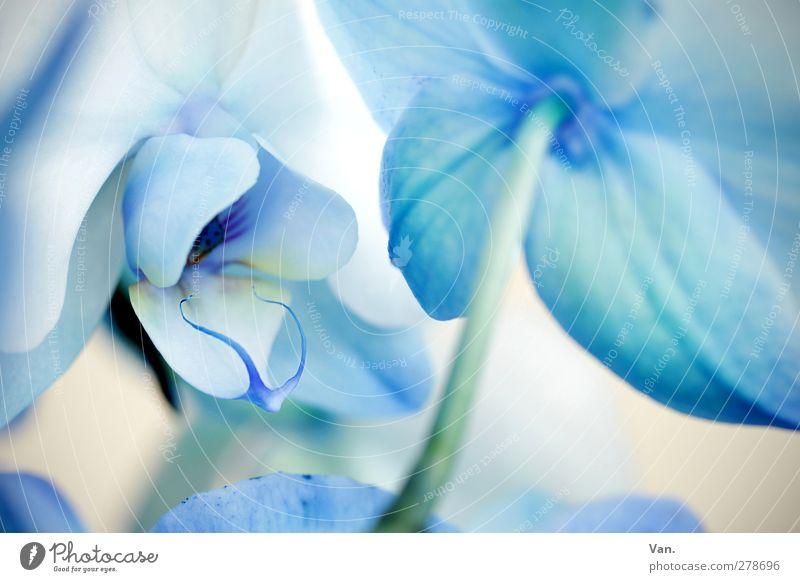 bleu³ Natur Pflanze Sommer Blume Orchidee Blüte Stengel hell blau weiß Farbfoto Gedeckte Farben Außenaufnahme Detailaufnahme Menschenleer Tag