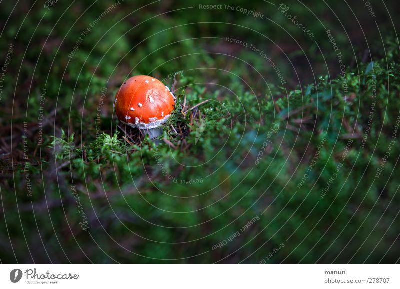 Pilz Natur Herbst Moos Fliegenpilz Waldboden Wachstum klein Gift Farbfoto Außenaufnahme Menschenleer Textfreiraum rechts Textfreiraum unten Tag Licht Schatten