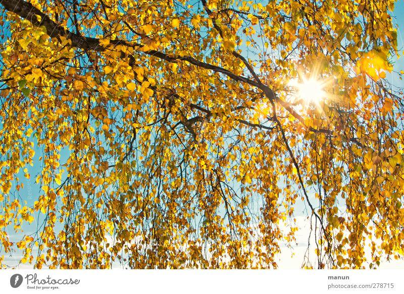 Herbstsonne Natur Sonne Baum Blatt Birke Birkenblätter herbstlich Herbstfärbung Herbstbeginn Herbstwetter Wärme gelb gold türkis Farbfoto Außenaufnahme