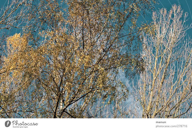 Herbsthimmel Natur Baum herbstlich Herbstwald Herbstlandschaft Herbstfärbung blau gelb türkis Farbfoto Außenaufnahme Tag Licht Kontrast Sonnenlicht