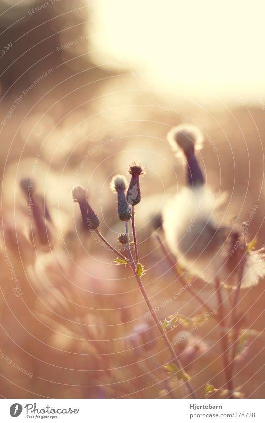 19:59 Natur Pflanze schön Sommer Sonne Blüte natürlich träumen Feld Sträucher Geborgenheit Wildpflanze Nahaufnahme Licht