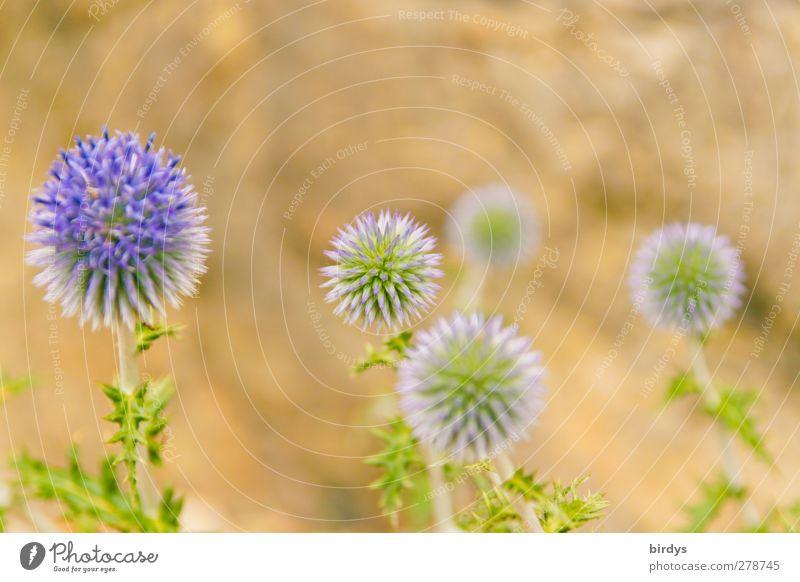 stachelige Schönheiten Natur Sommer Blüte Wildpflanze Distel Blühend leuchten ästhetisch exotisch rund schön gelb grün violett Leben Duft Farbe