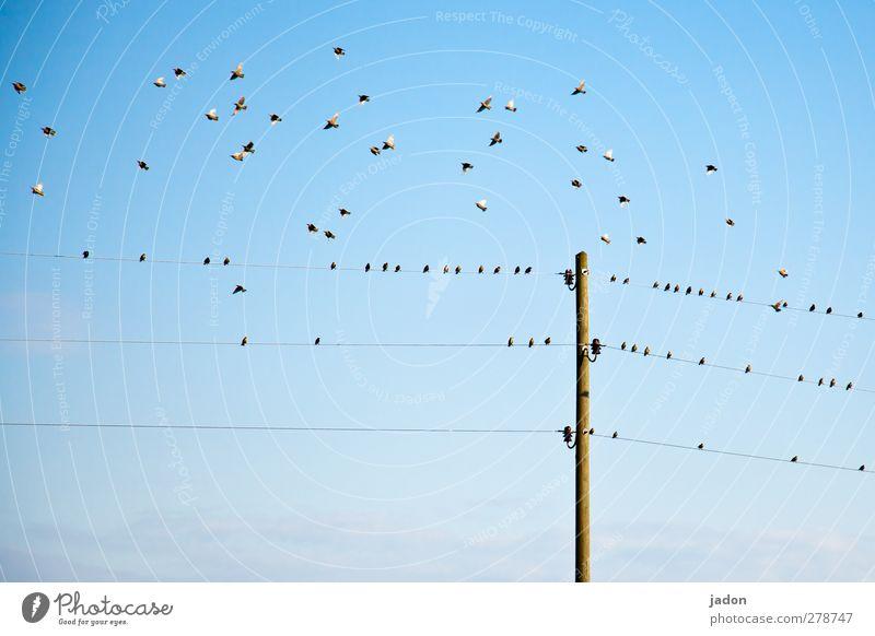 should we stay or should we go? Energiewirtschaft Tier Luft Himmel Schönes Wetter Vogel Tiergruppe Schwarm fliegen sitzen blau Nervosität Star vogeltrupp