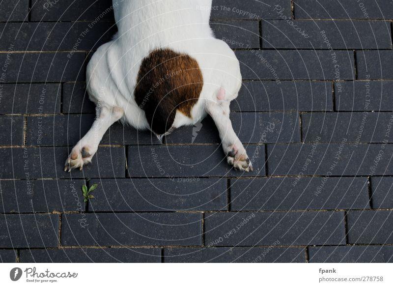 Was fehlt denn..? Tier Haustier Hund 1 Stein liegen braun grau weiß Pflastersteine Beine Pfote Schwanz fehlen Pause Fell Fuge Farbfoto Außenaufnahme
