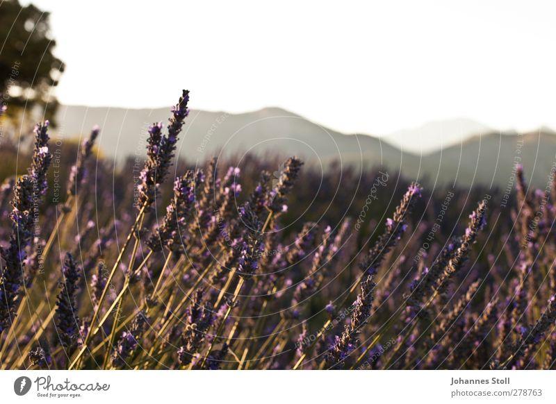 Lavendel Natur Pflanze schön Farbe Sommer Sonne Landschaft Feld Sträucher genießen Romantik Hügel Fahrradtour violett Duft Sommerurlaub