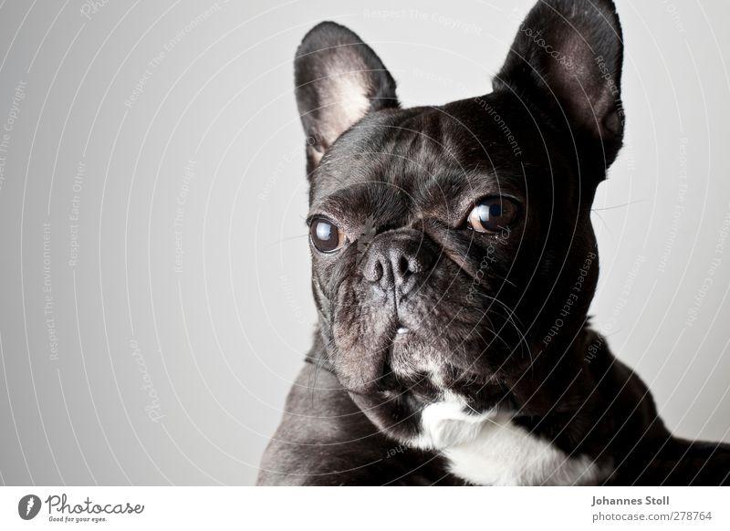 Hundeaugen Tier Haustier Tiergesicht Fell 1 Gelassenheit Vergänglichkeit Zukunft Farbfoto Innenaufnahme Studioaufnahme Textfreiraum links Blitzlichtaufnahme