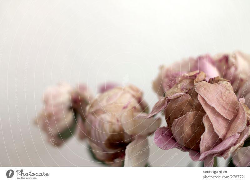 dead can dance. Pflanze Herbst Rose verblüht dehydrieren braun rosa weiß Tod Zerstörung Christrose Farbfoto Gedeckte Farben Innenaufnahme Studioaufnahme