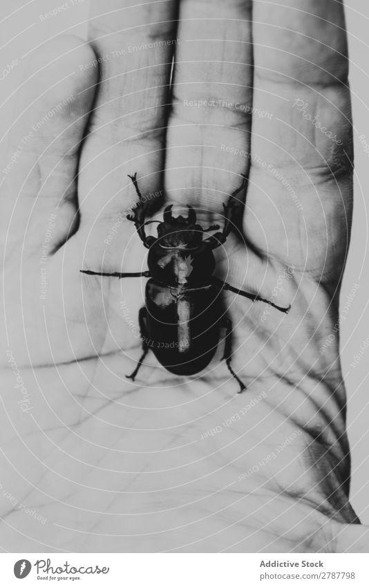 Großer Käfer auf menschlicher Handfläche Mensch Insekt Wanze dunkel Natur Tierwelt groß natürlich Entwurf Fauna Haut scarabaeus Finger Zoologie Entomologie