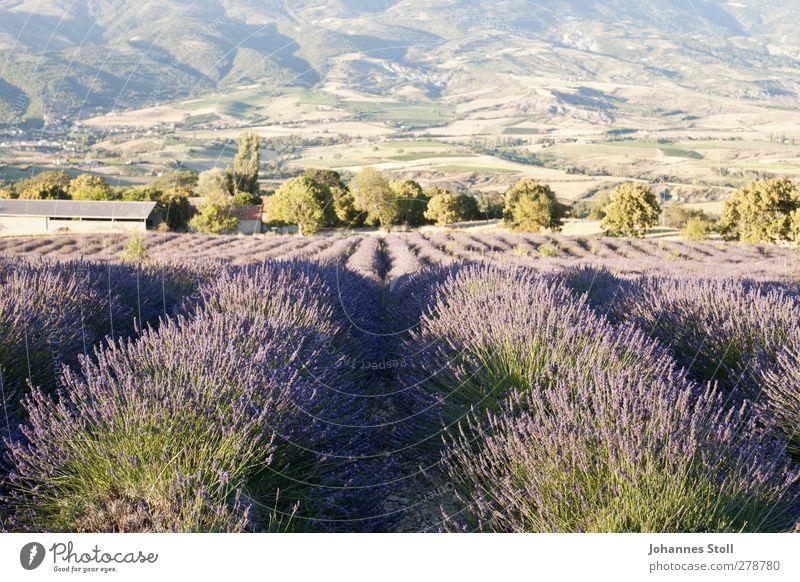 Lavendelfeld Kräuter & Gewürze Sommerurlaub Natur Landschaft Pflanze Schönes Wetter Sträucher Nutzpflanze Feld Berge u. Gebirge Duft genießen verblüht violett