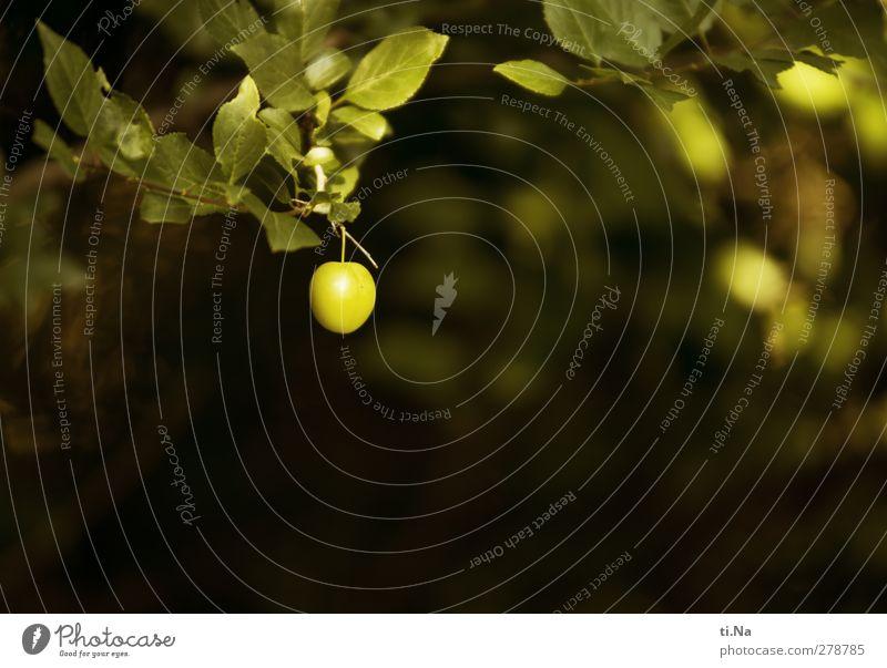 Sommerfrucht Frucht Pflaume Pflaumenbaum Kricke Baum Sträucher Garten hocken Wachstum klein lecker Farbfoto Gedeckte Farben Außenaufnahme Nahaufnahme