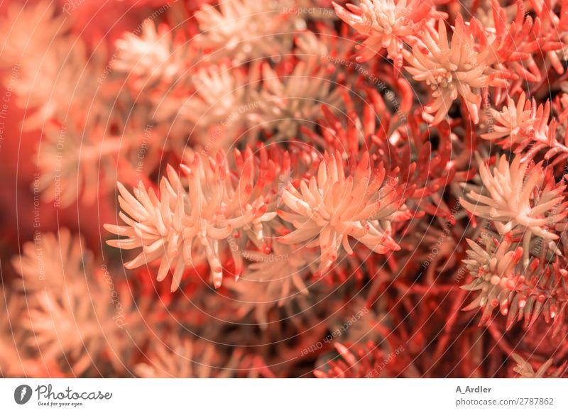 Sedum in Coral Garten Natur Pflanze Frühling Sommer Wiese exotisch modern Spitze stachelig orange einzigartig Wachstum Botanik Fetthenne Koral Korallen rot rosa