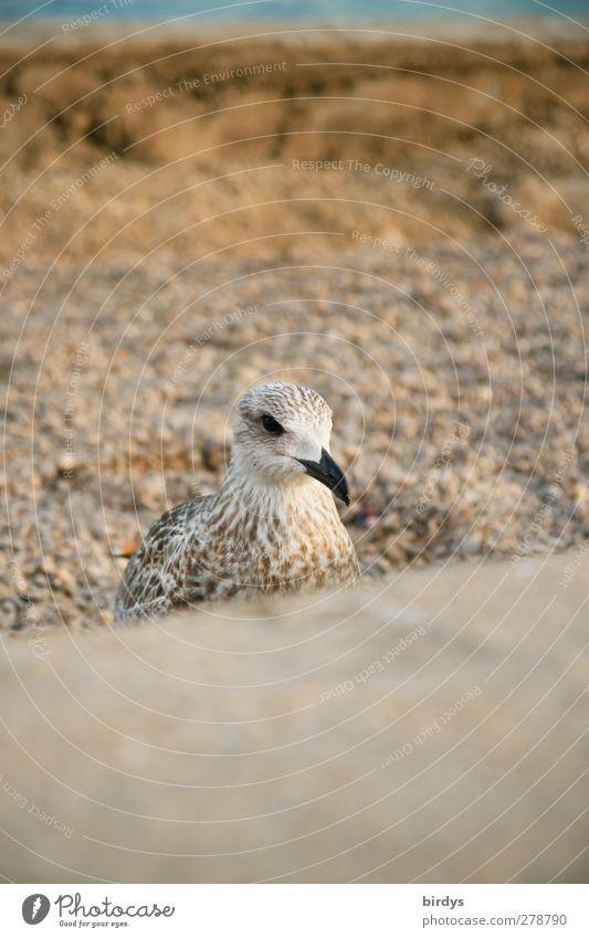 Jonathan XI Natur Tier ruhig Vogel braun Erde ästhetisch Möwe Möwenvögel