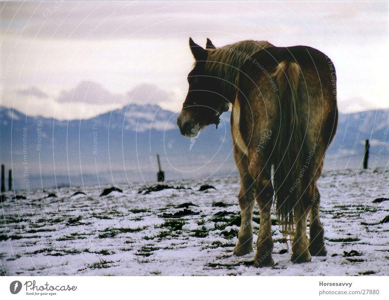 Blue Mountains Winter Berge u. Gebirge groß Pferd Alpen Sehnsucht Bayern