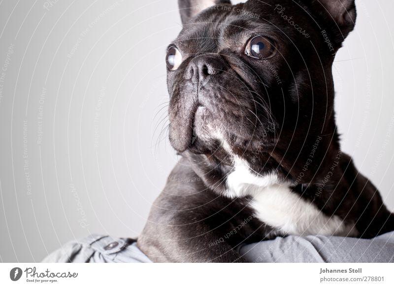 Hundeaugen II Tier Haustier 1 Blick niedlich schwarz Tierliebe Sehnsucht Farbfoto Studioaufnahme Blitzlichtaufnahme Tierporträt Halbprofil Wegsehen