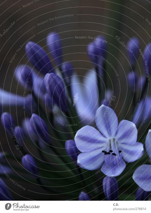 Schönlilie Blume Blüte Garten Blühend Wachstum schön blau grün violett Lilien Lilienblüte Liliengewächse Farbfoto Außenaufnahme Textfreiraum oben Abend