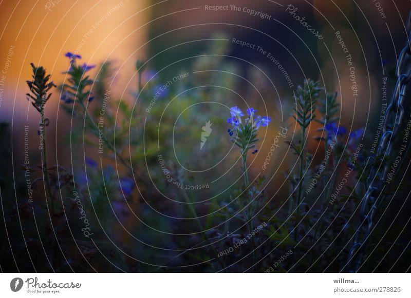 Das Schattendasein des Eisenkrauts Natur Pflanze Sommer Blume Blüte Garten blau Licht & Schatten Schattenpflanze blaue Blüten fünfzählig Doldentrauben Verbene
