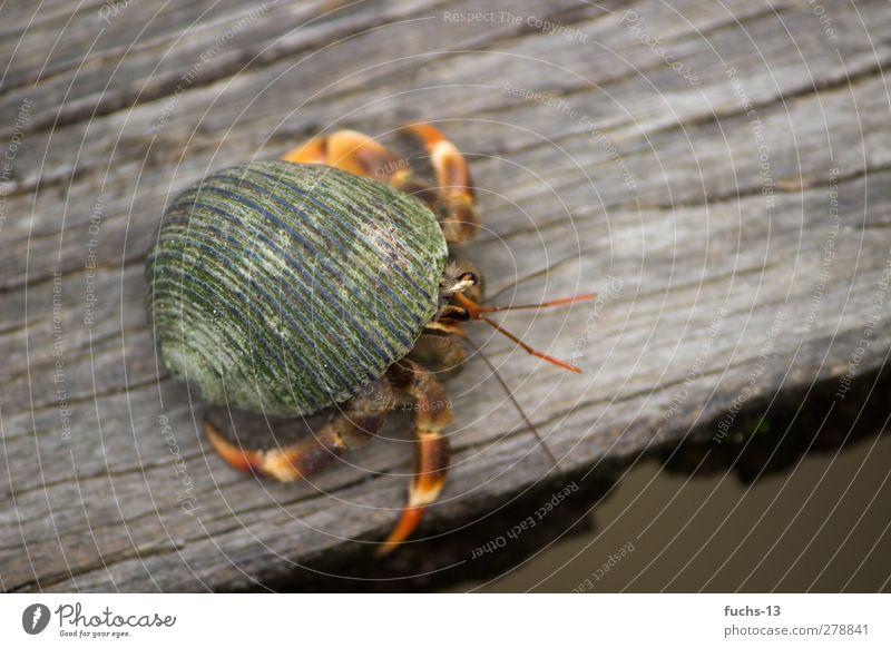 Einsiedlerkrebs Auge Natur Pflanze exotisch Tier Muschel Krebs Krustentier 1 beobachten Bewegung Häusliches Leben außergewöhnlich grün Lebewesen Lebensformen