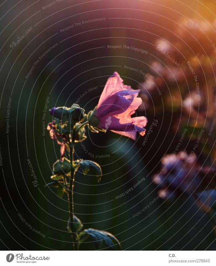 Sommerblume Sommer Pflanze Blume Blatt Blüte rosa ästhetisch Blühend Duft Verlauf Lichtspiel
