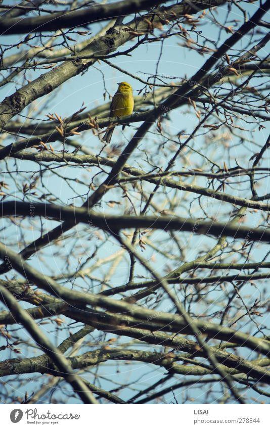 girlitz Pflanze Tier Frühling Baum Baumkrone Ast Zweig Blütenknospen Wildtier Vogel Girlitz 1 blau braun gelb Farbfoto Außenaufnahme Menschenleer Tag