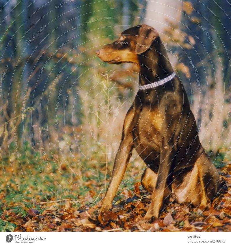 Mädchen im Gegenlicht kann ich nicht .... Natur Tier Haustier Hund 1 beobachten sitzen ästhetisch muskulös braun silber Sicherheit Treue elegant Energie
