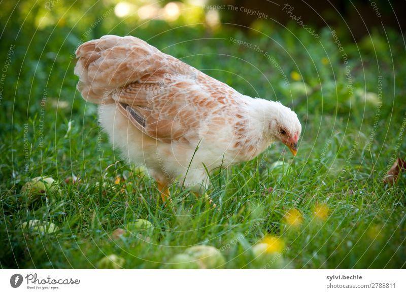 Junghenne Natur Pflanze grün weiß Tier Tierjunges Herbst Umwelt Wiese Glück Gras Garten braun laufen Flügel beobachten
