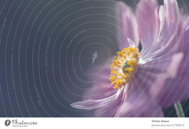 Anemone im Licht Natur Sommer Pflanze Blume Erholung ruhig Leben Herbst Blüte rosa Design Zufriedenheit Dekoration & Verzierung leuchten Geburtstag Hochzeit