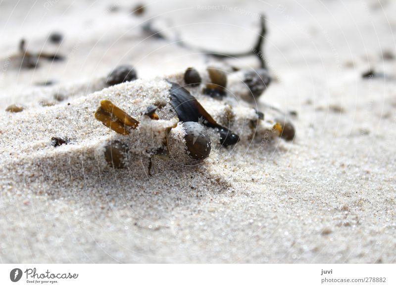 Strandstilleben Umwelt Natur Pflanze Sand Küste braun grau schwarz Algen Sträucher Ebbe Außenaufnahme Menschenleer Tag Unschärfe
