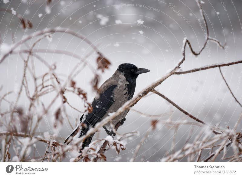 Nebelkrähe im Schnee Winter Wetter Schneefall Tier Wildtier Vogel Krähe Aaskrähe 1 sitzen ruhig ästhetisch Mitte Rabenvögel Farbfoto Außenaufnahme