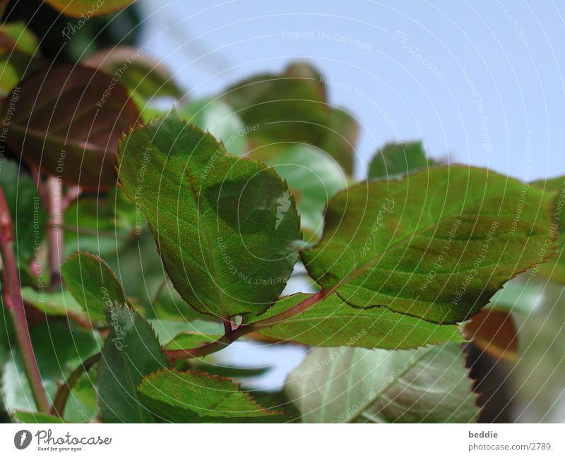 Rosenblätter Blatt Rose Stengel