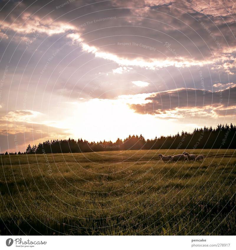 schäfchen zählen Landschaft Sommer Schönes Wetter Wärme Wiese Wald Hügel Alpen Weide Haustier Nutztier Schaf Schafherde Tiergruppe Wachsamkeit Gelassenheit