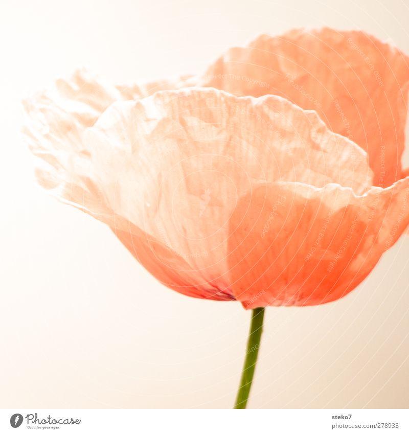 nicht knitterfrei Blüte Mohnblüte grün orange rot zerbrechlich Stengel knittern zart Gedeckte Farben Außenaufnahme Detailaufnahme Menschenleer Freisteller