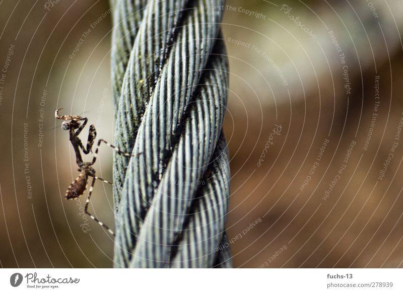 Gottesanbeterin Umwelt Natur Tier Wildtier Insekt Fangschrecken Stahlseil Seil 1 ästhetisch exotisch braun Stolz eitel Farbfoto Gedeckte Farben Außenaufnahme