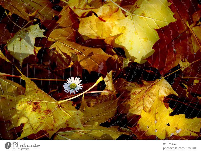 ich bin ein gänseblümchen Natur Pflanze Blatt Herbst Schönes Wetter einzeln Schutz Blühend Gänseblümchen Herbstlaub Geborgenheit Herbstfärbung